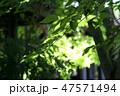 夏の葉 47571494