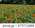 マリーゴールド 花 花畑の写真 47571888