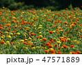 マリーゴールド 花 花畑の写真 47571889