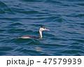 動物 鳥 カンムリカイツブリの写真 47579939