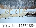 湖 鳥 白鳥の写真 47581864