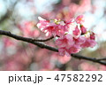 緋寒桜 47582292