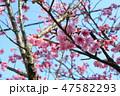 緋寒桜 47582293