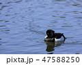鳥 金黒羽白 池の写真 47588250