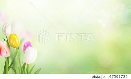 春-背景-グリーン-チューリップ 47591722