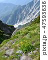 お花畑 花 白馬岳の写真 47593636