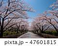 信州スカイパークの桜並木 47601815