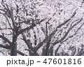 桜並木 47601816