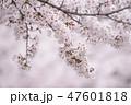 桜並木 47601818