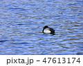 鳥 池 鴨の写真 47613174