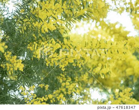 ミモザの花 47618347