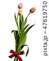 チューリップ、優しい色、プレゼントイメージ、リボン、背景白 47619750