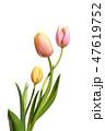 チューリップ、優しい色、背景白 47619752