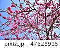 桃 花 ピンクの写真 47628915