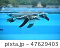 フンボルトペンギン ペンギン 泳ぐの写真 47629403