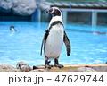 フンボルトペンギン ペンギン 鳥類の写真 47629744
