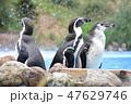 フンボルトペンギン ペンギン 鳥類の写真 47629746