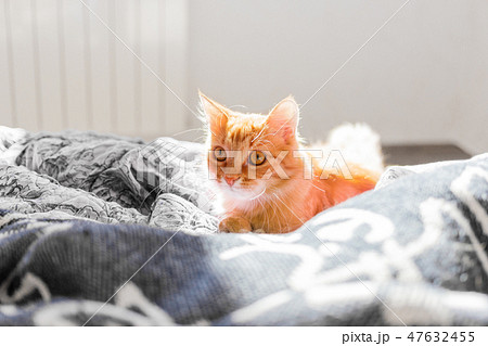 Cute ginger cat lying in bed. Fluffy pet 47632455