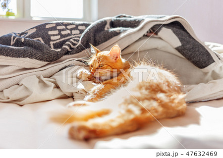 Cute ginger cat lying in bed. Fluffy pet licking. 47632469