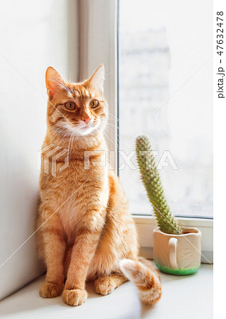 Cute ginger cat on window sill near prickly cactus 47632478