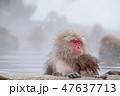 温泉に入る親子のスノーモンキー(日本猿) 47637713