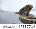 温泉を飲むスノーモンキー(日本猿) 47637714