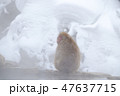 温泉に入るスノーモンキー(日本猿) 47637715