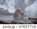 温泉に入る親子のスノーモンキー(日本猿) 47637716