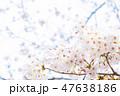 桜 染井吉野 文字スペースの写真 47638186