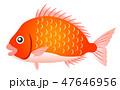 タイ 魚 白バックのイラスト 47646956