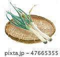 野菜 白バック 長ねぎのイラスト 47665355
