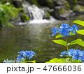 湧水流れる白滝公園に咲くアジサイ 47666036
