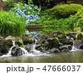 湧水流れる白滝公園に咲くアジサイ 47666037