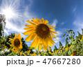 フラワー 花 ひまわりの写真 47667280