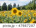フラワー 花 ひまわりの写真 47667287