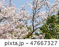 桜と椿と空 47667327