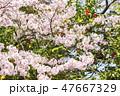 桜と椿と空 47667329