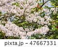桜と椿と空 47667331