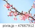 カワヅザクラ 桜 花の写真 47667912