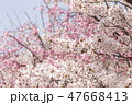 花 桜 春の写真 47668413