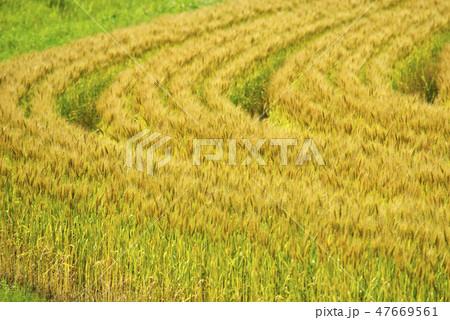 麦畑 47669561