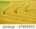 麦畑 穂 畑の写真 47669562