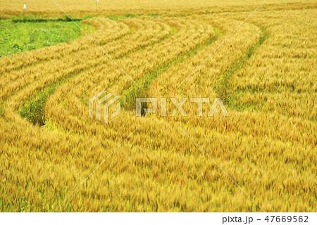 麦畑 47669562