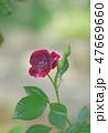 花 バラ 薔薇の写真 47669660