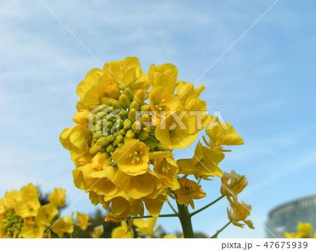 12月に咲き始めた早咲きナバナ 47675939