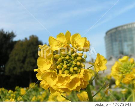 12月に咲き始めた早咲きナバナ 47675942