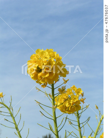12月に咲き始めた早咲きナバナ 47676037