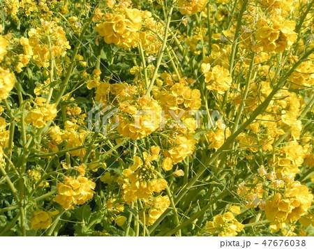 12月に咲き始めた早咲きナバナ 47676038