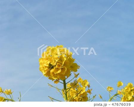 12月に咲き始めた早咲きナバナ 47676039