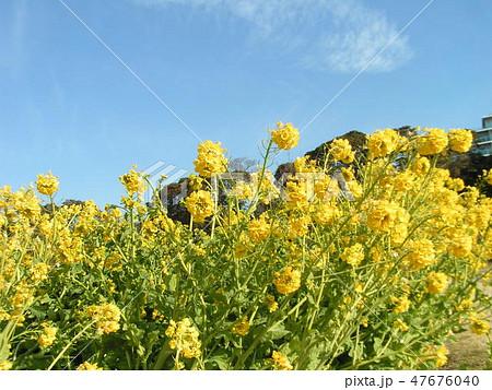 12月に咲き始めた早咲きナバナ 47676040